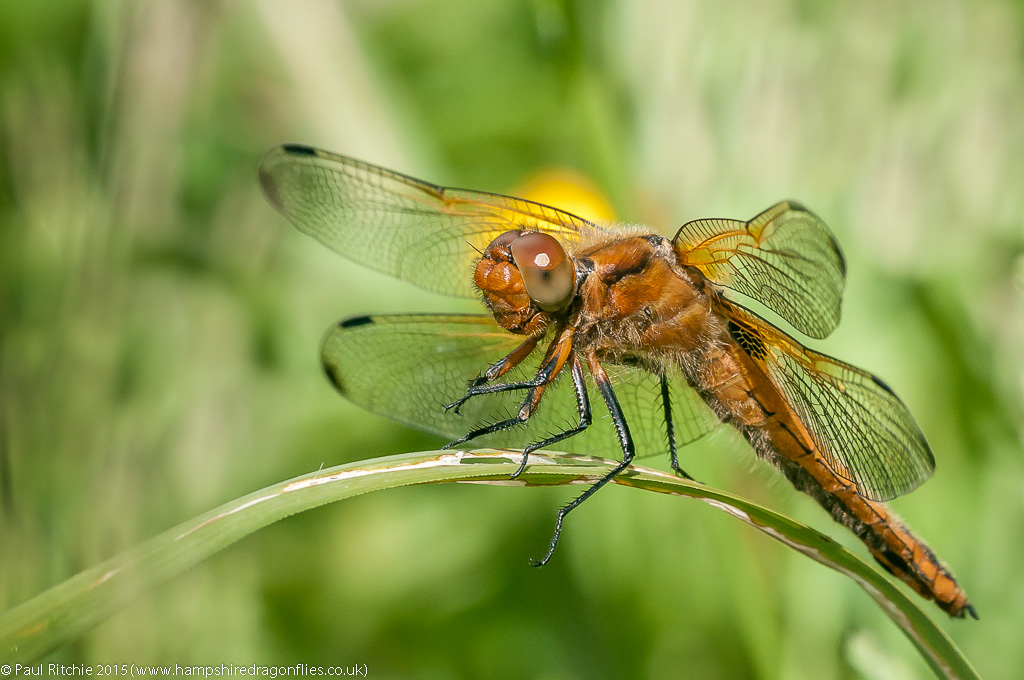 Scarce Chaser - immature female