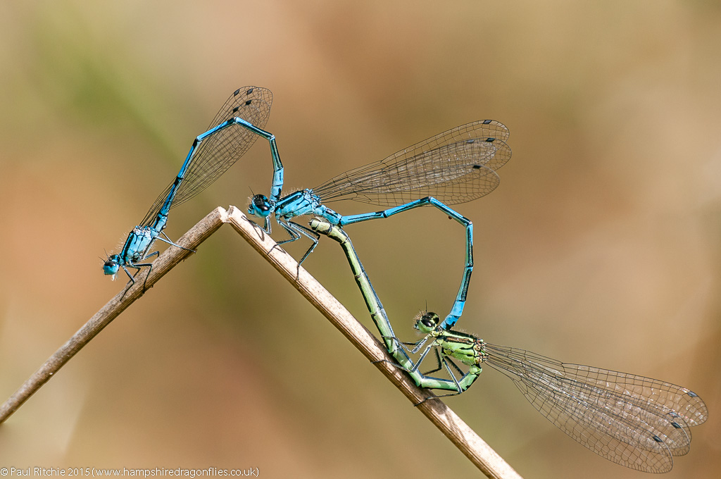 Azure Damselflies - two males and a female