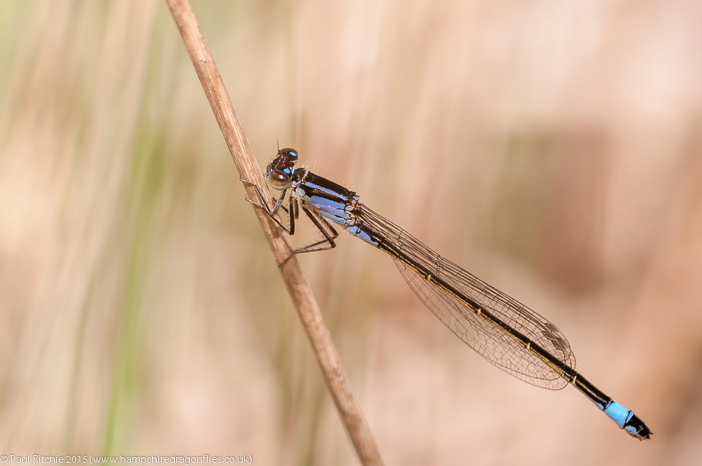 Blue-tailed Damselfly - Immature female violacea form