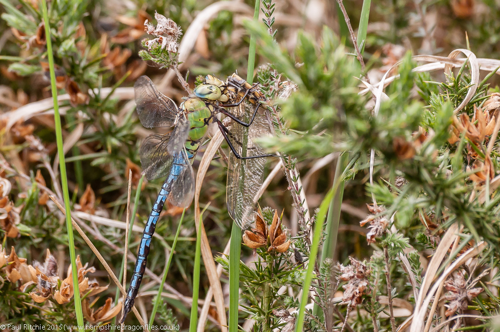 Emperor - male feeding on Black-tailed Skimmer