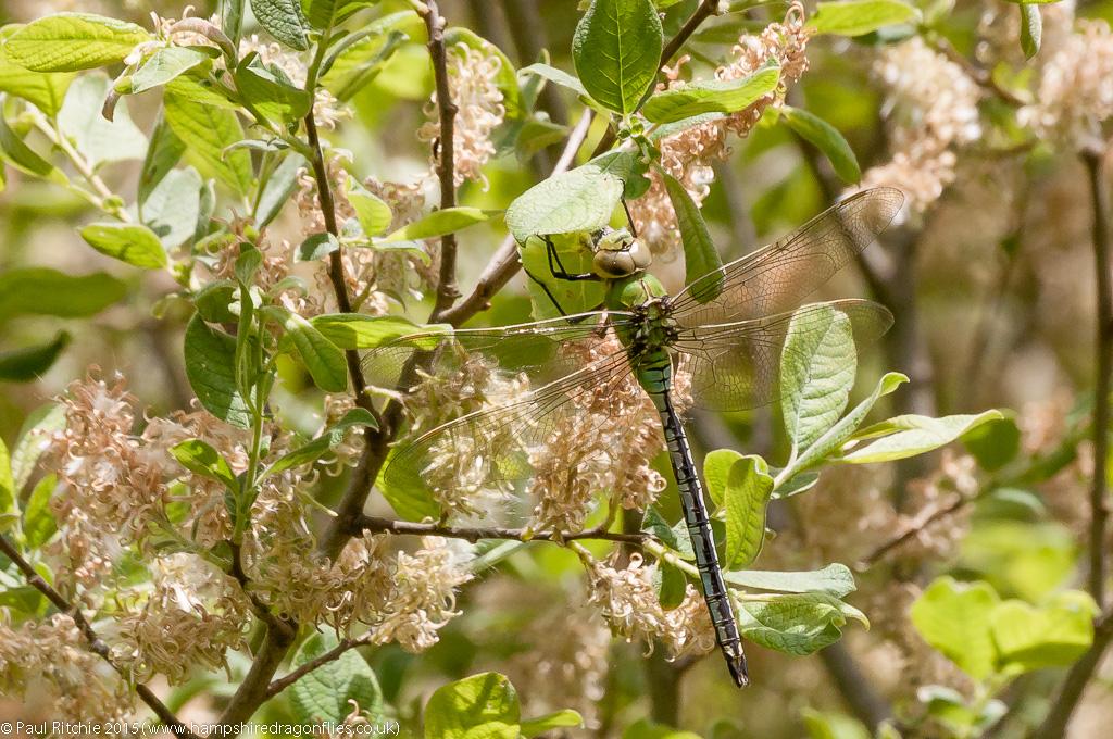 Emperor - male feeding on Brimstone Butterfly