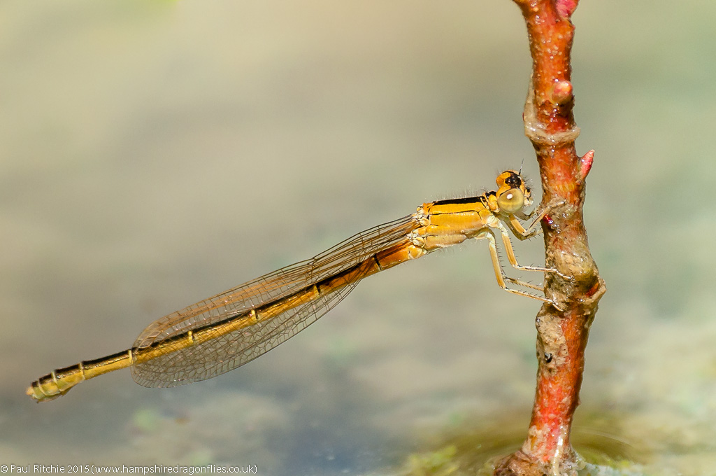 Scarce Blue-tailed Damselfly - immature female (aurantiaca)