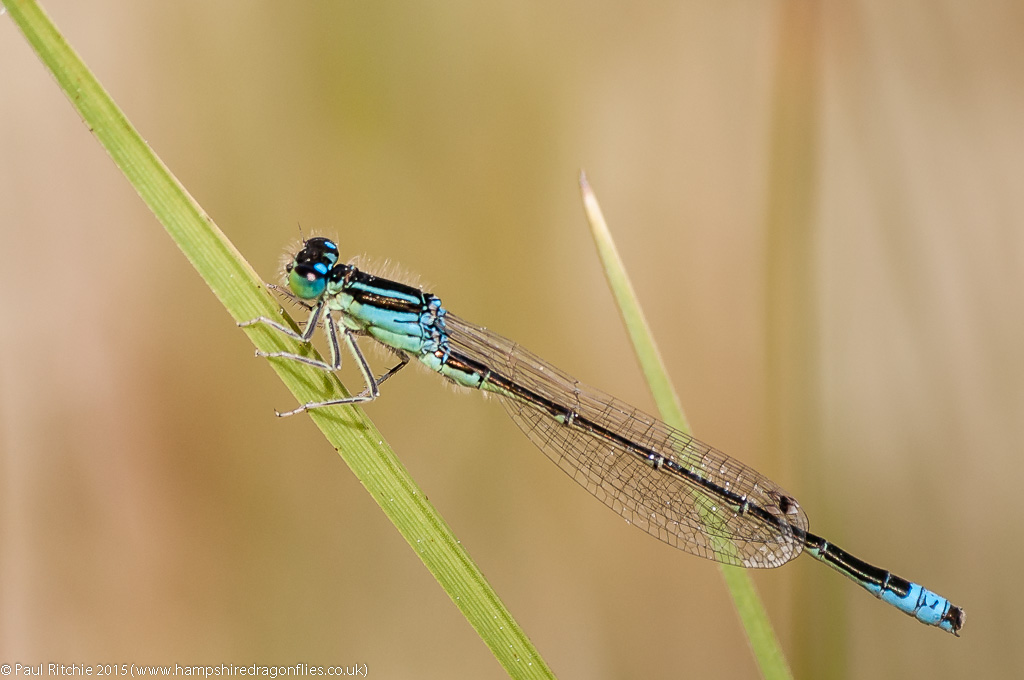 Scarce Blue-tailed - male immature blue form