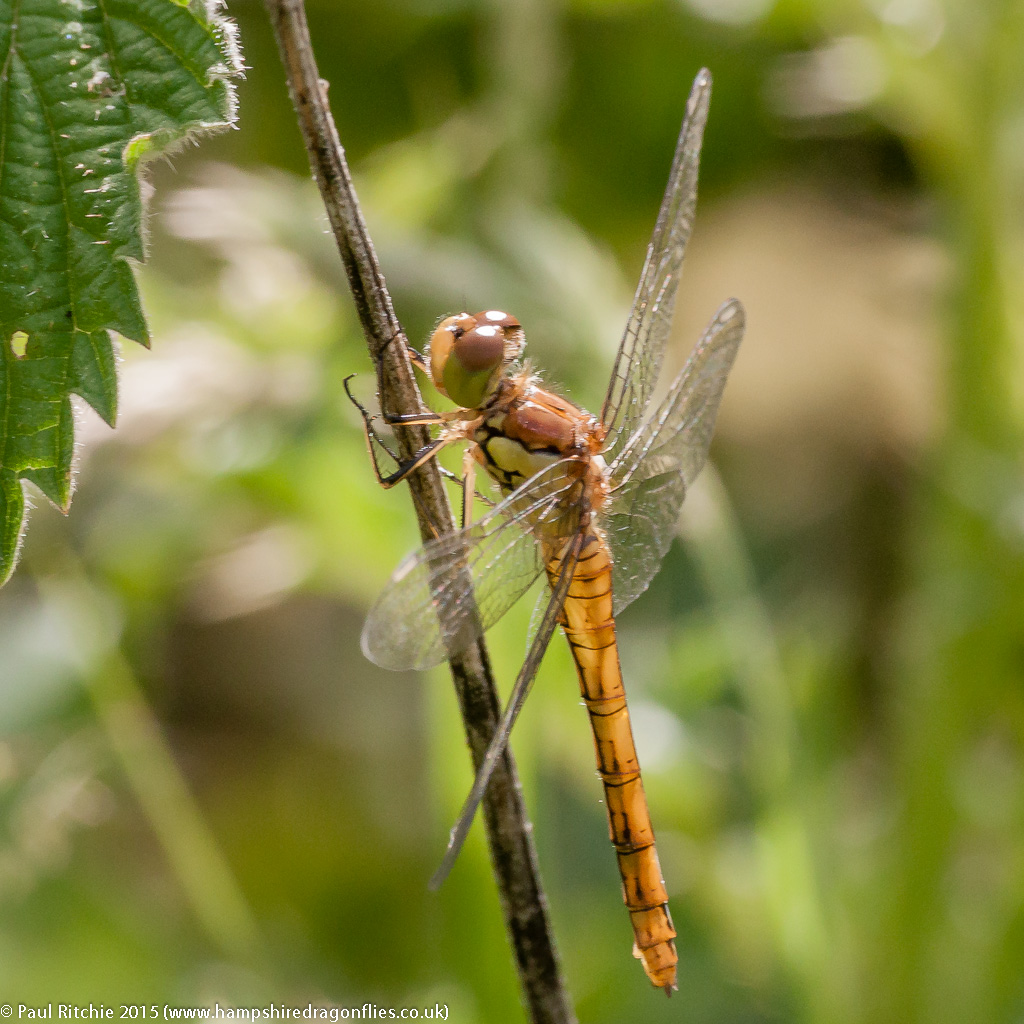 Common Darter - teneral male