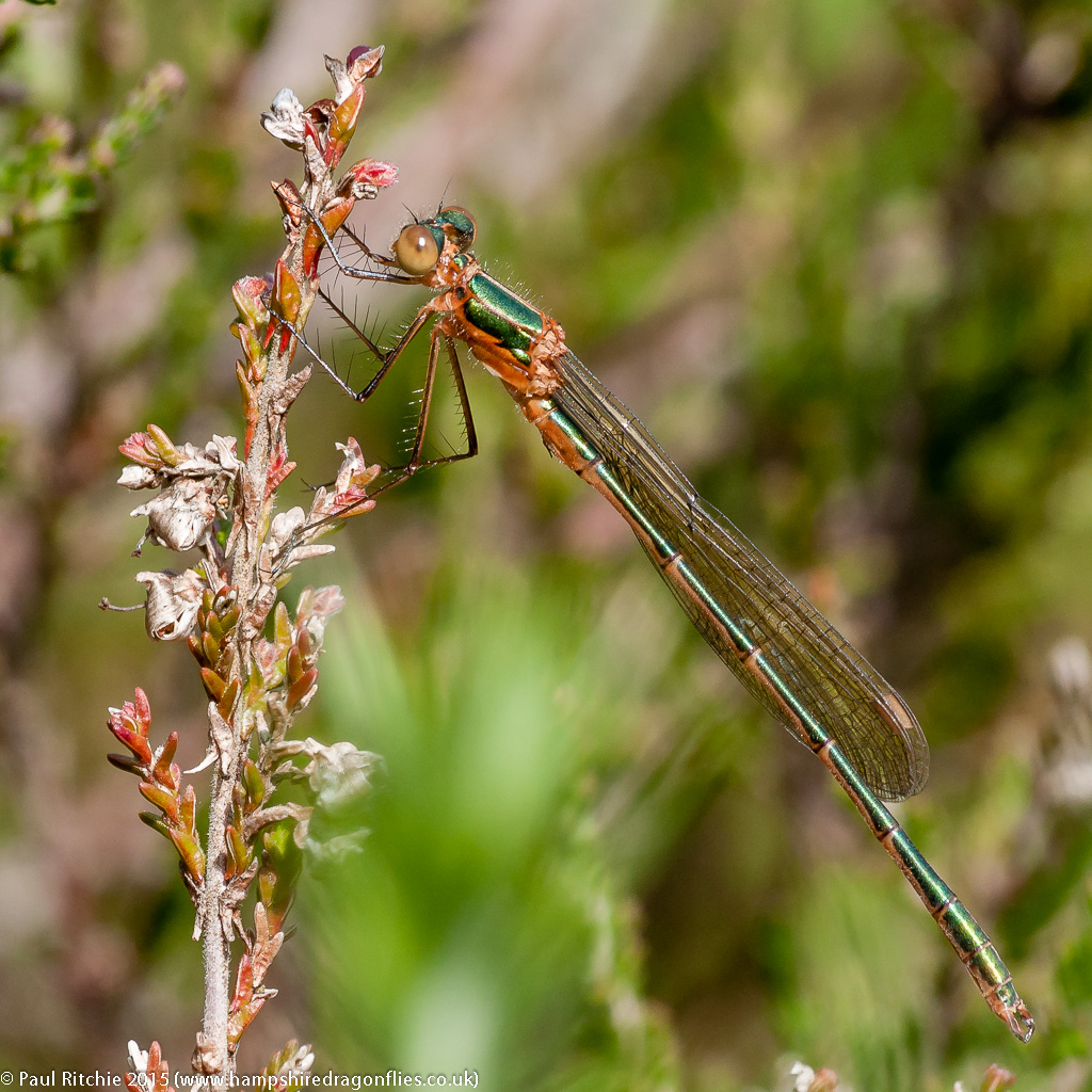 Common Emerald - immature male