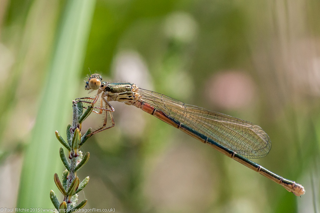 Small Red Damselfly - immature female