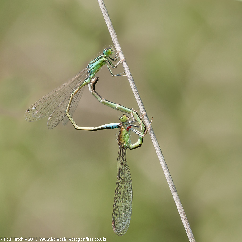 Scarce Blue-tailed Damselflies - pair in cop