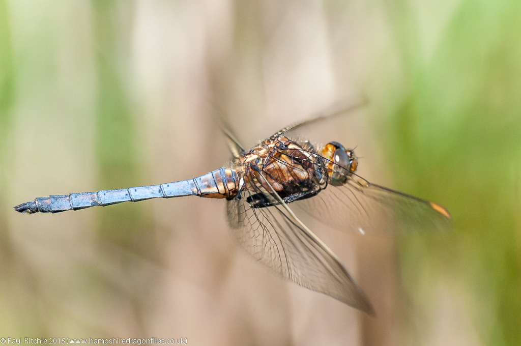 Keeled Skimmer- male in-flight