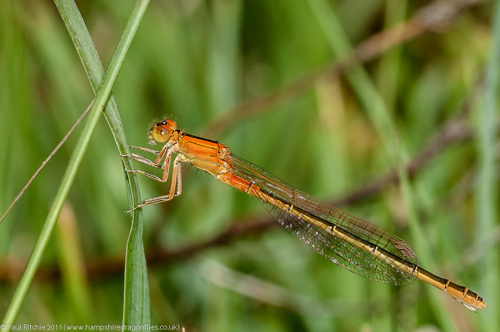 Scarce Blue-tailed Damselfly - immature female aurantiaca phase