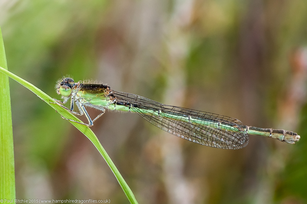 Scarce Blue-tailed Damselfly - mature female