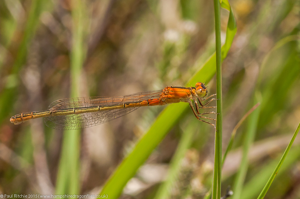 Scarce Blue-tailed Damselfly - immature female aurantiaca transi