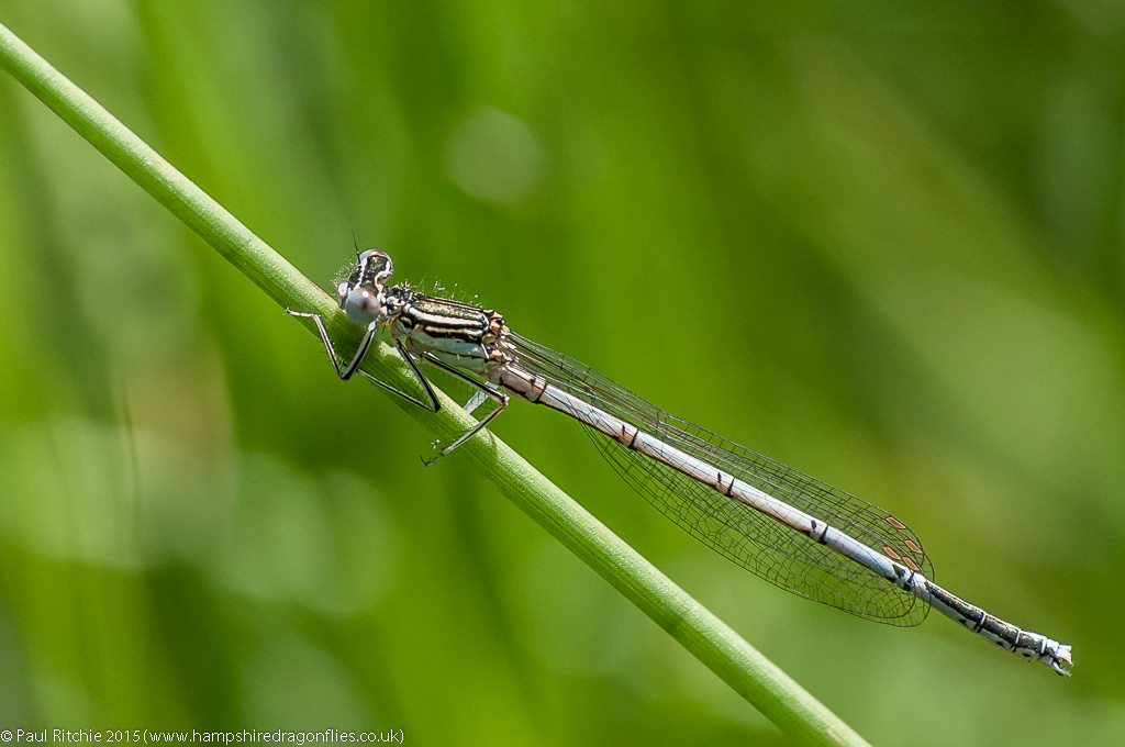 White-legged Damselfly - immature male