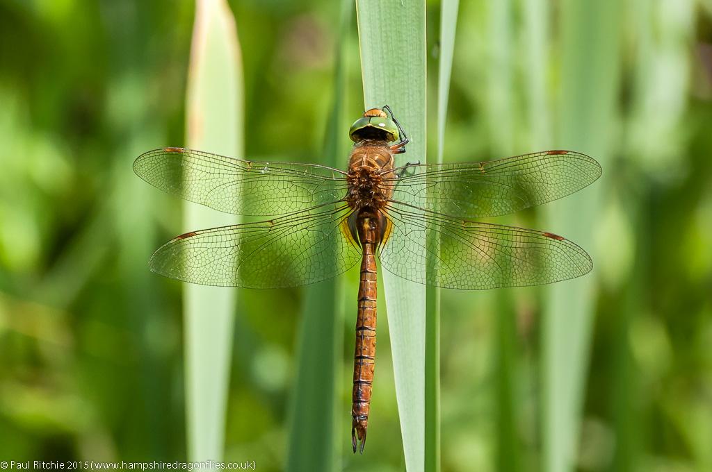 Green-eyed Hawker - male