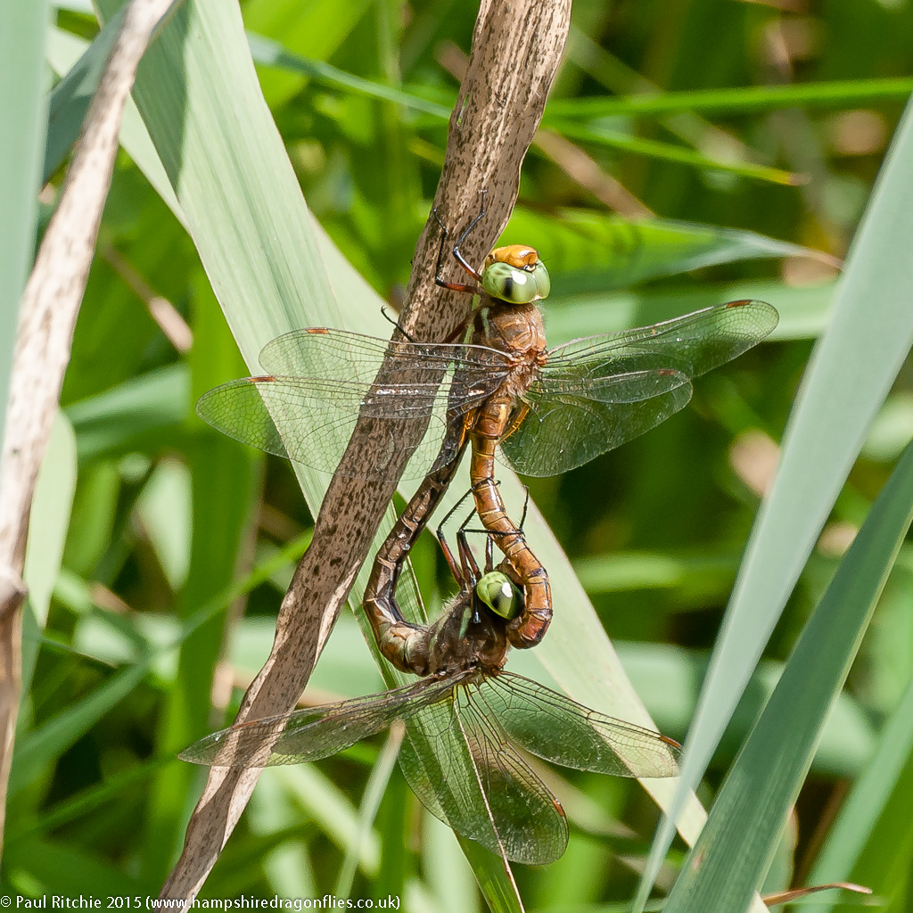Green-eyed Hawkers - pair in cop