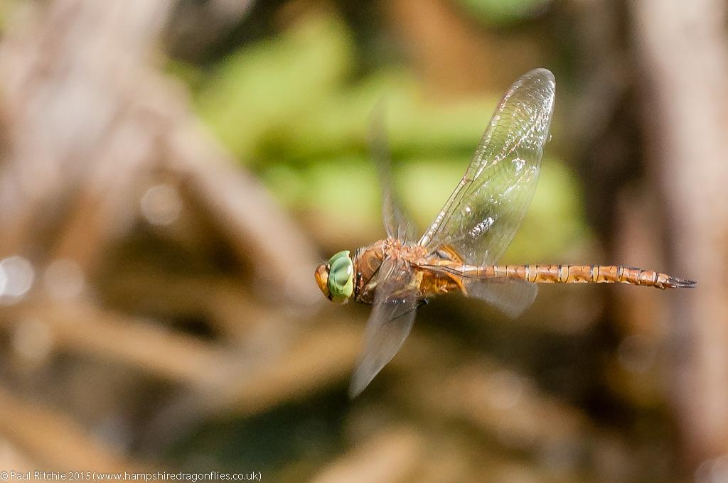 Green-eyed Hawker - male in-flight