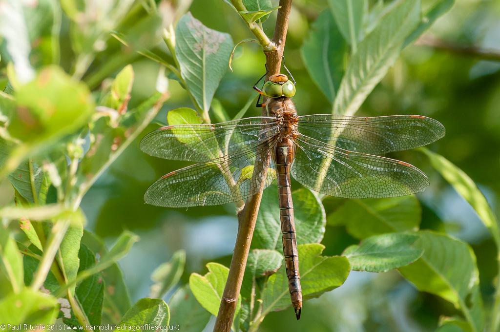 Green-eyed Hawker - female