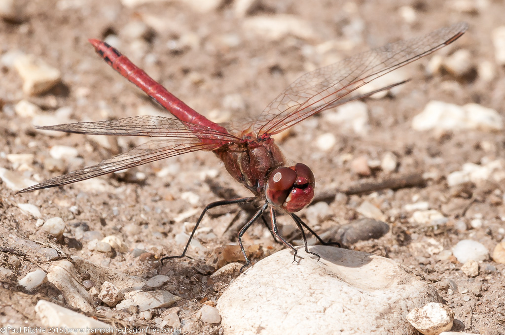 Red-veined Darter - male