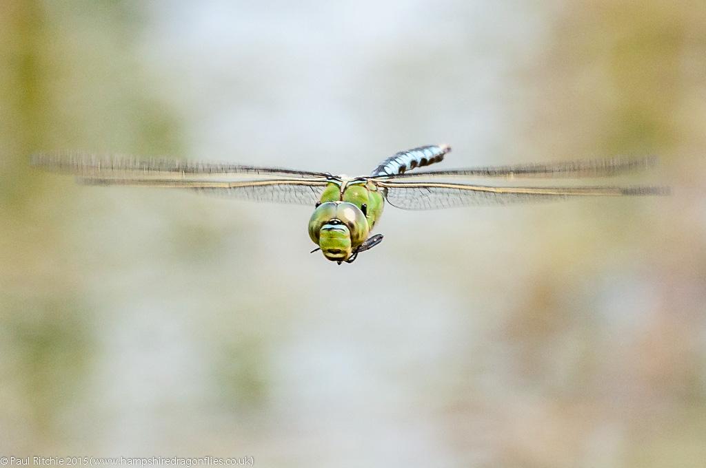 Emperor - male in-flight