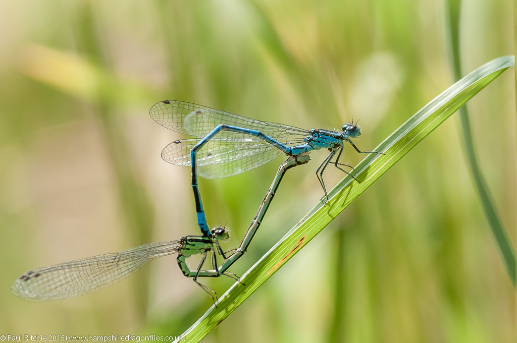 Azure damselflies - pair in cop