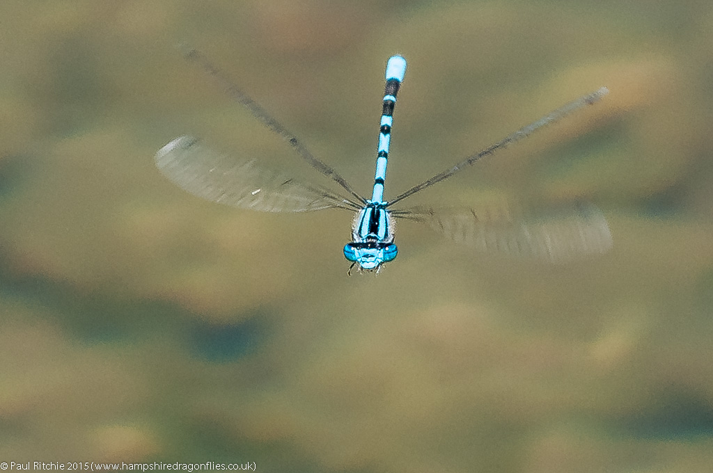 Common Blue damselfly - male in-flight