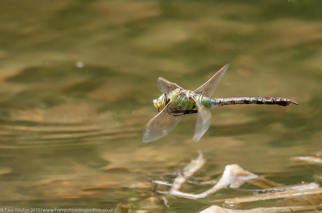 Emperor - female in-flight