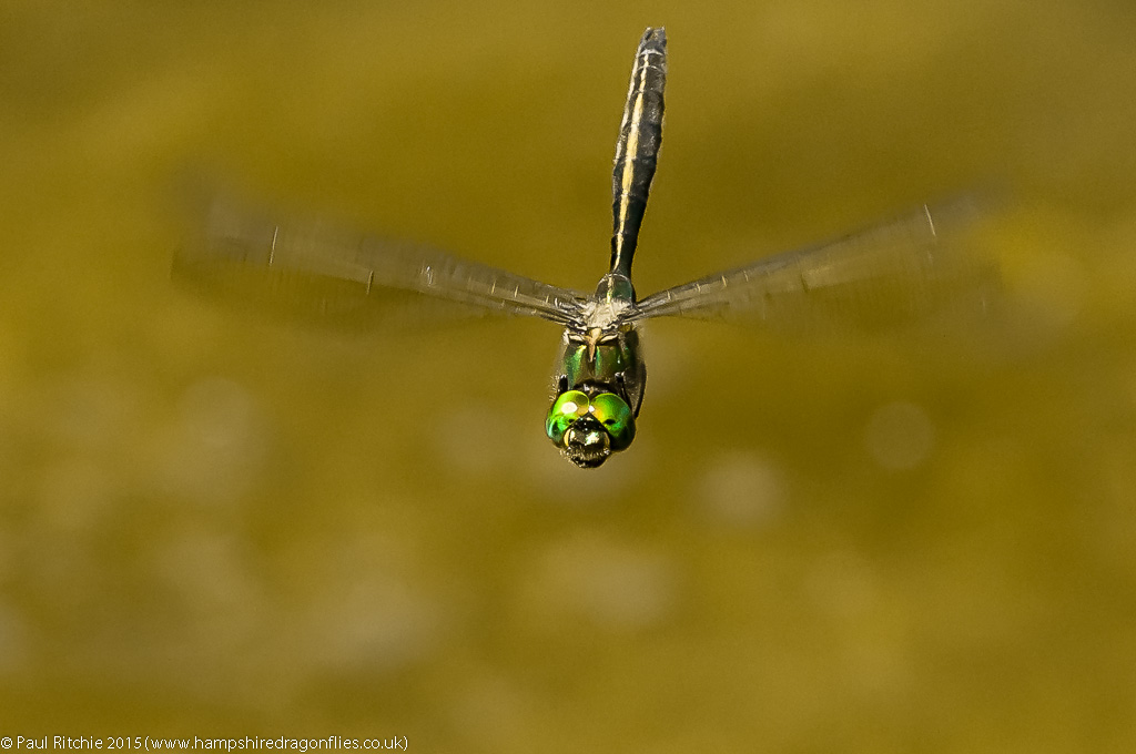 Brilliant Emerald - male in-flight