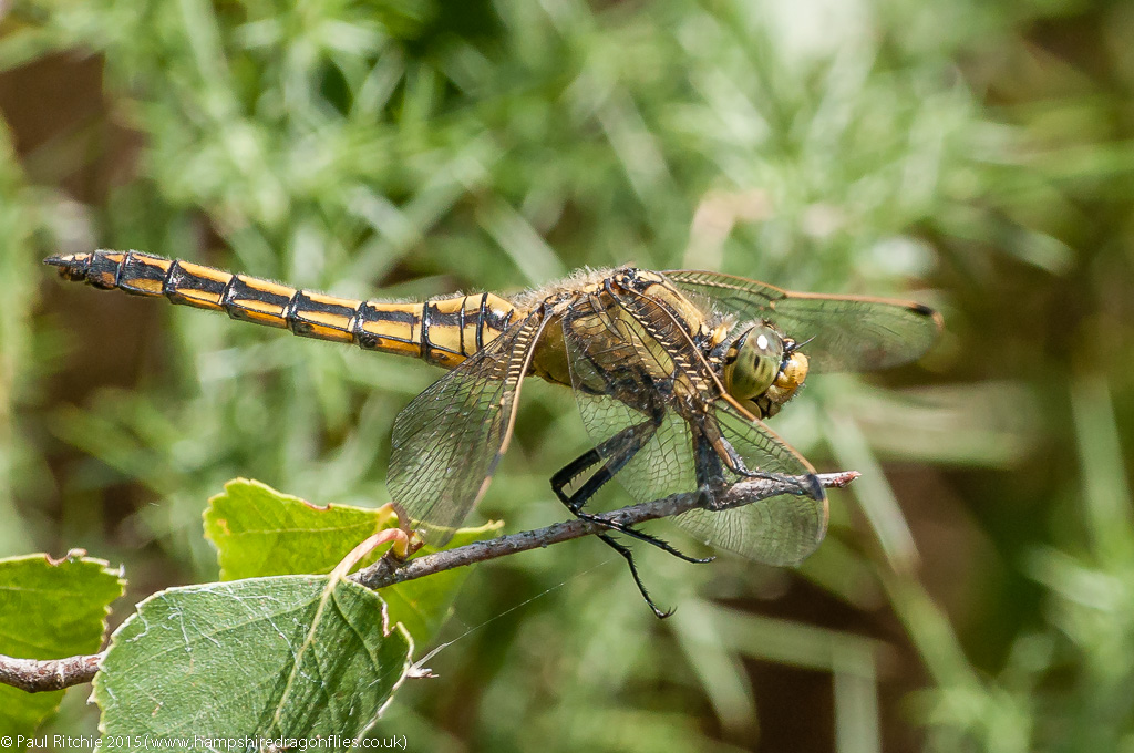 Black-tailed Skimmer - female