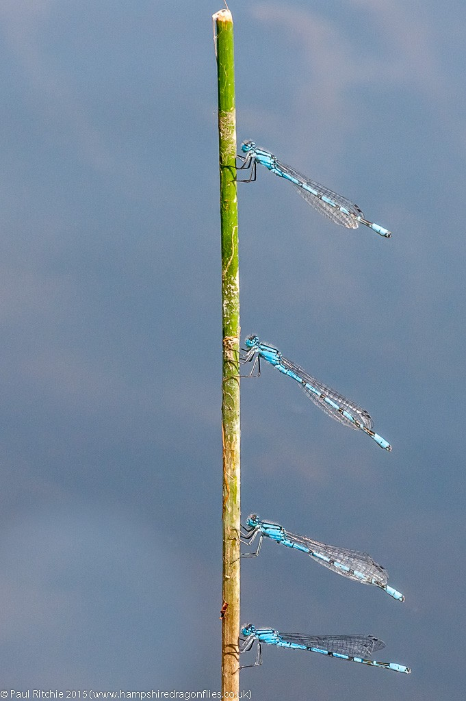 Common Blue damselflies congregating