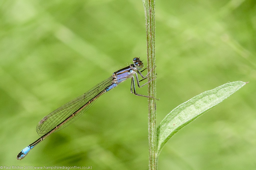 Blue-tailed damselfly - female violacea form