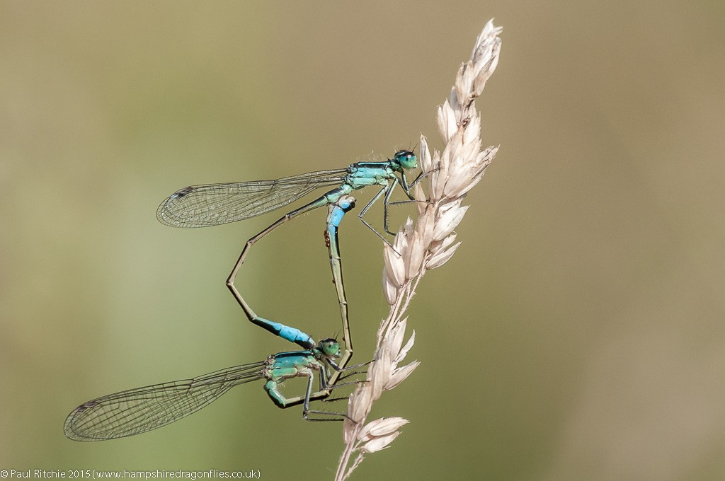 Blue-tailed damselflies - pair in cop