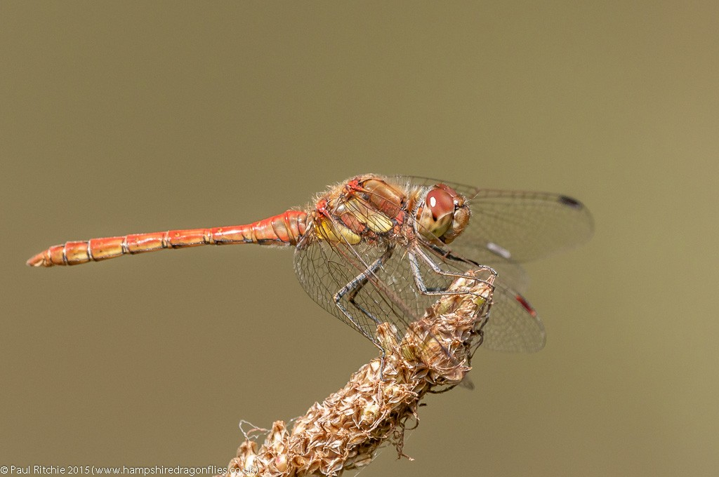 Common Darter - immature male