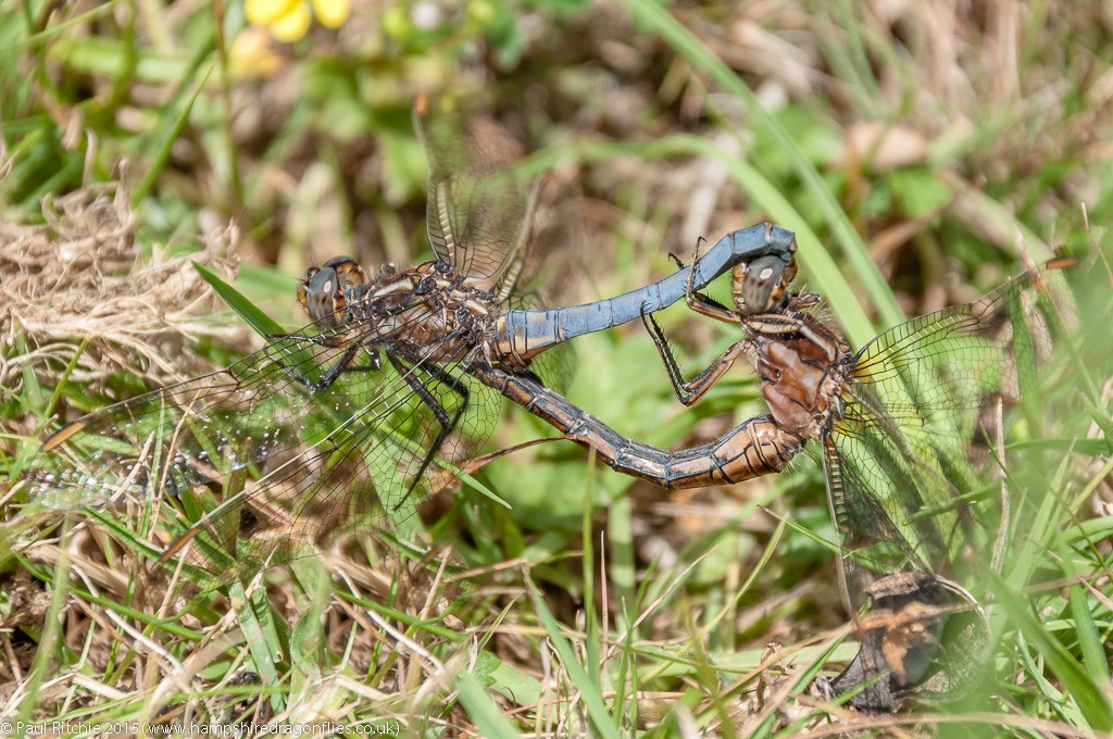 Keeled Skimmer - pair in cop