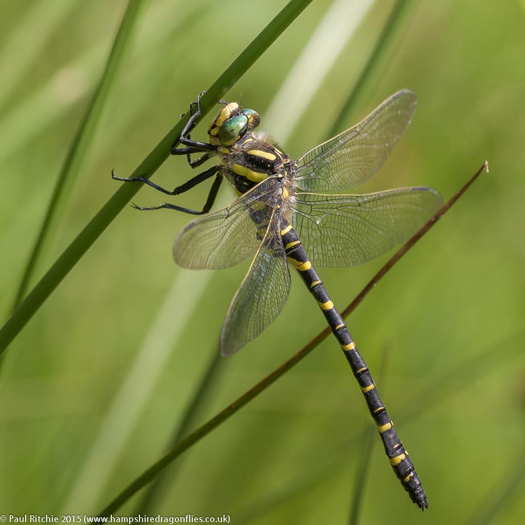 Golden-ringed - male