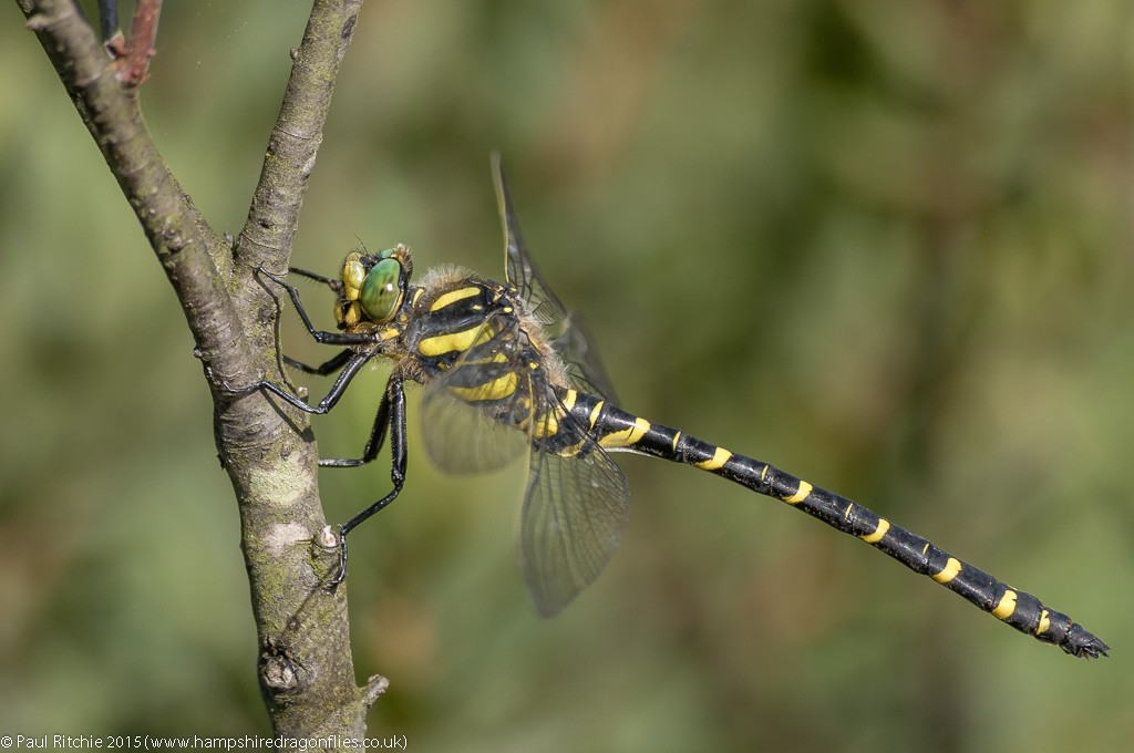Golden-ringed - male