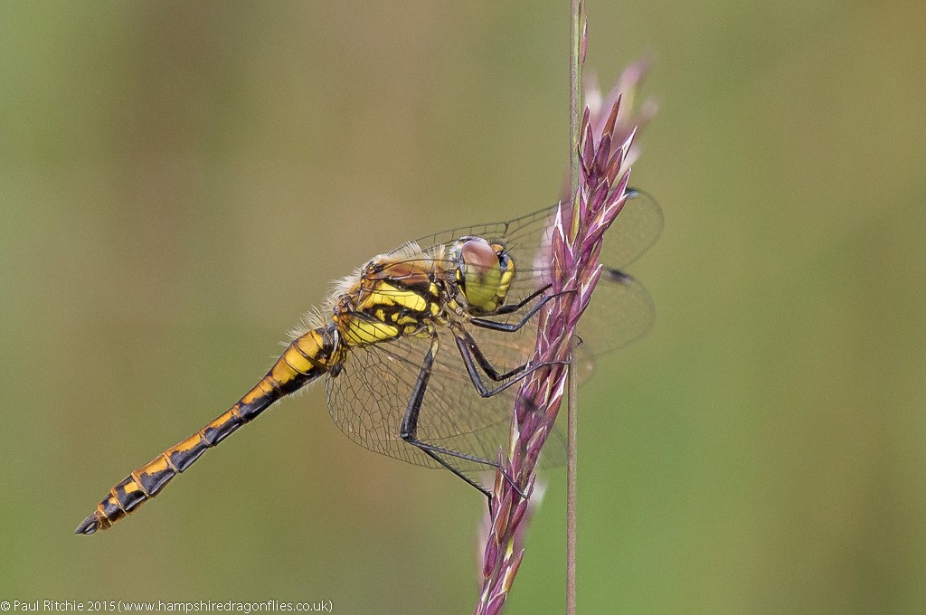 Black Darter - imm male