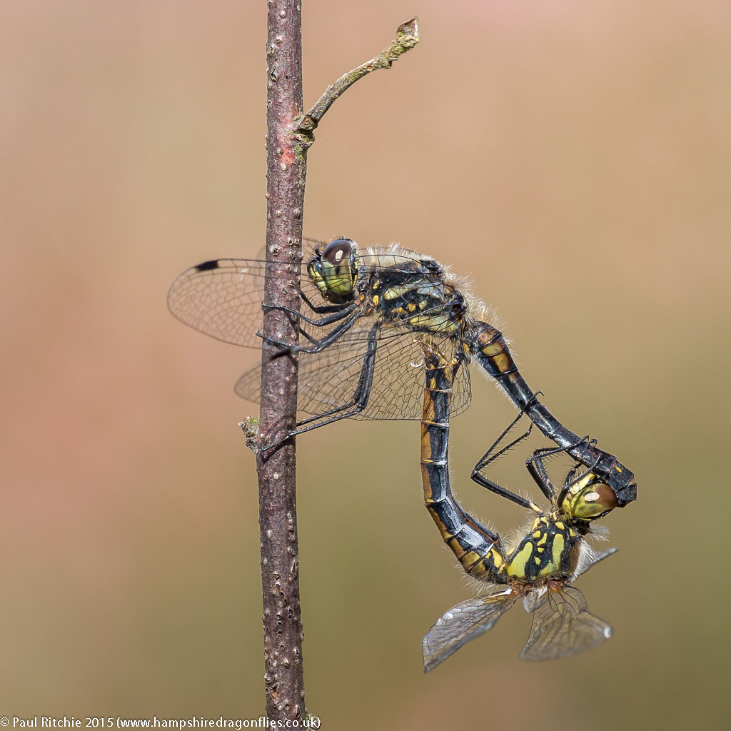 Black Darters - pair in cop