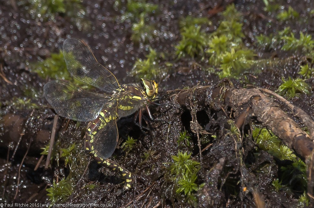Moorland Hawker - female