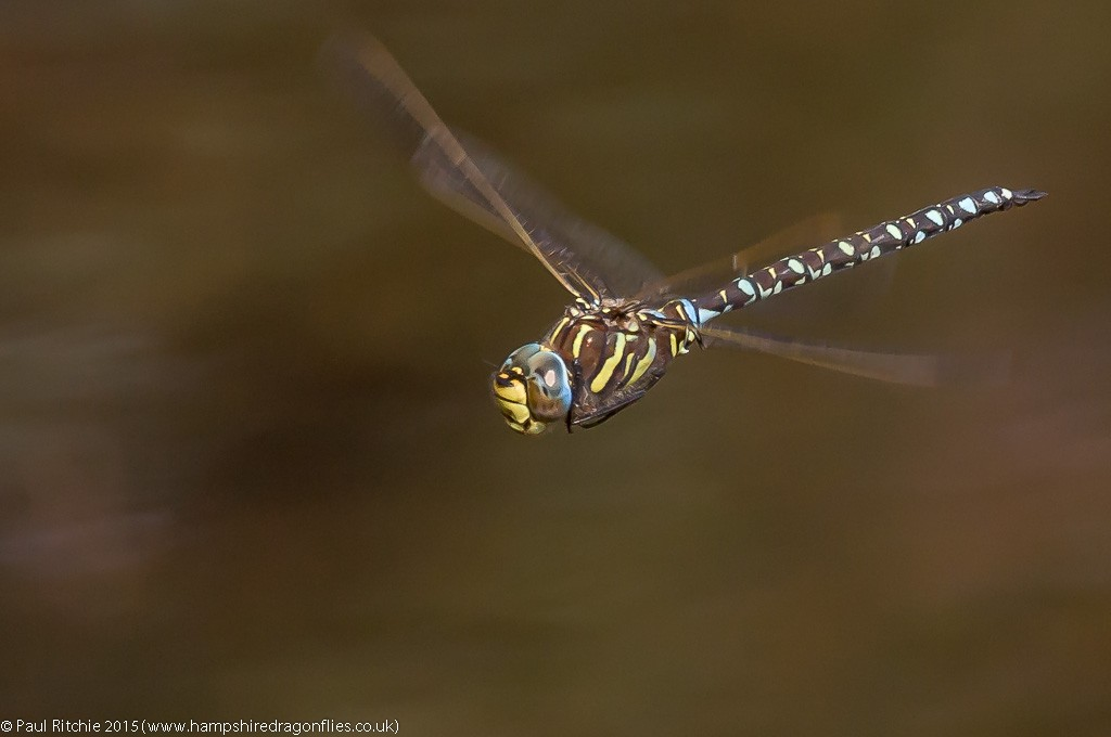 Moorland Hawker - male in-flight