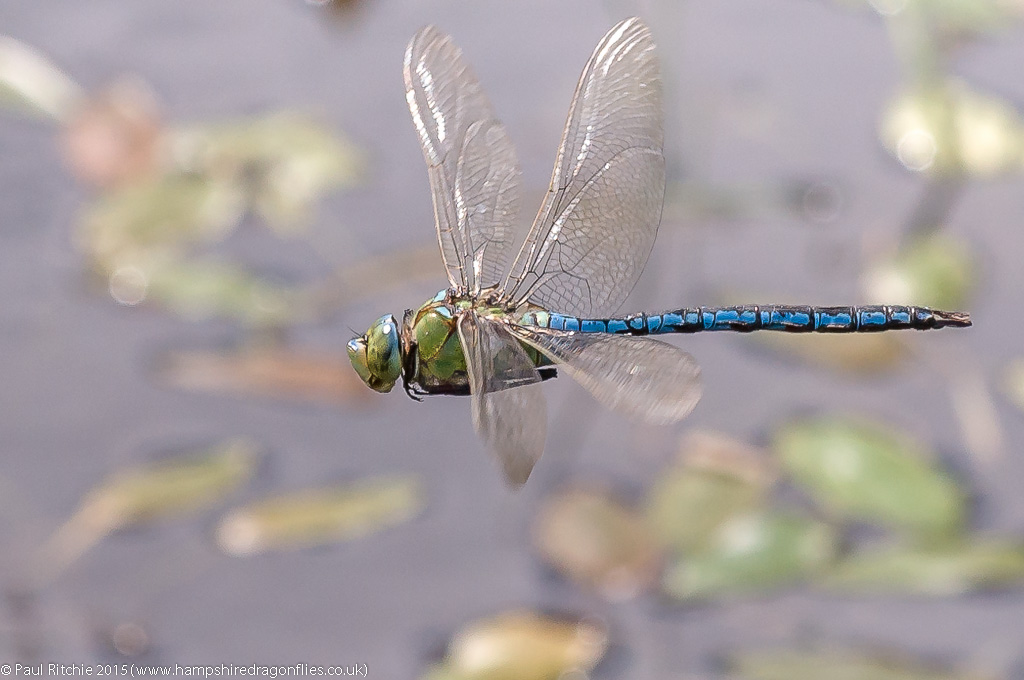 Emperor (Anax imperator) - male in-flight