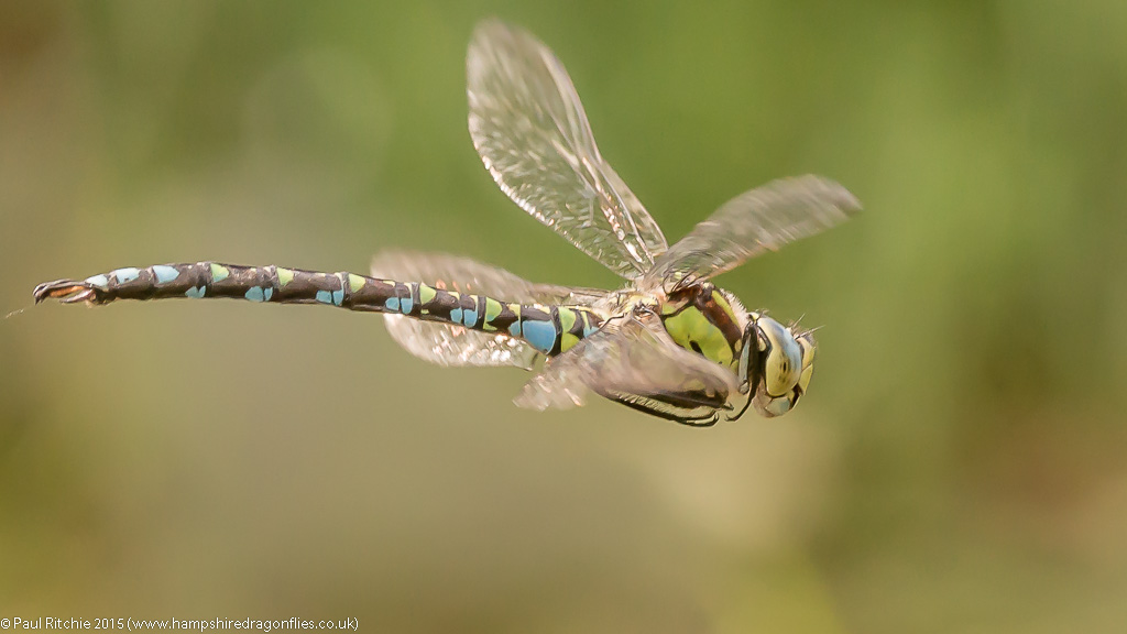 Southern Hawker (Aeshna cyanea) - male in-flight
