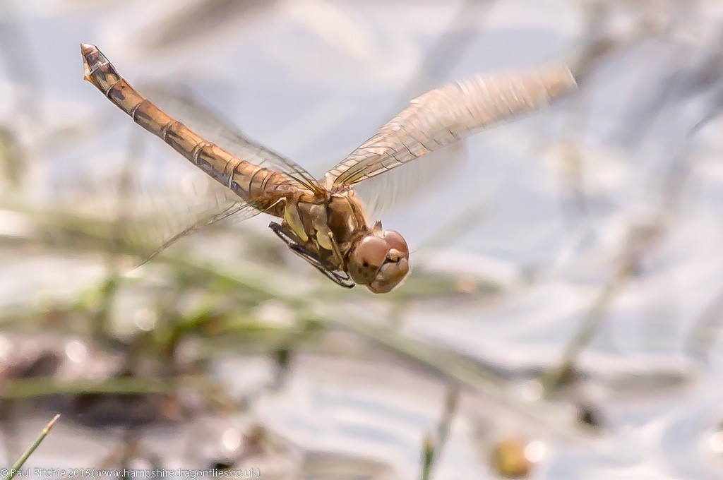 Common Darter - female in-flight