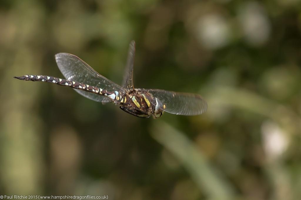 Moorland Hawker - male in-flight