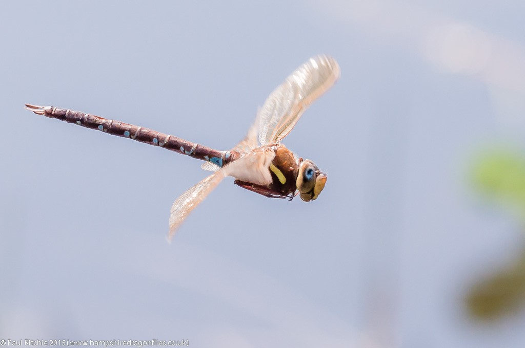 Brown Hawker - male in-flight