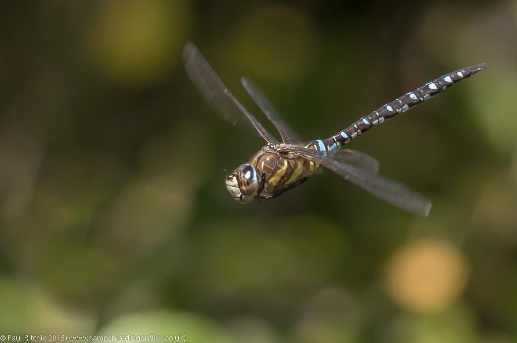 Migrant Hawker - male in-flight