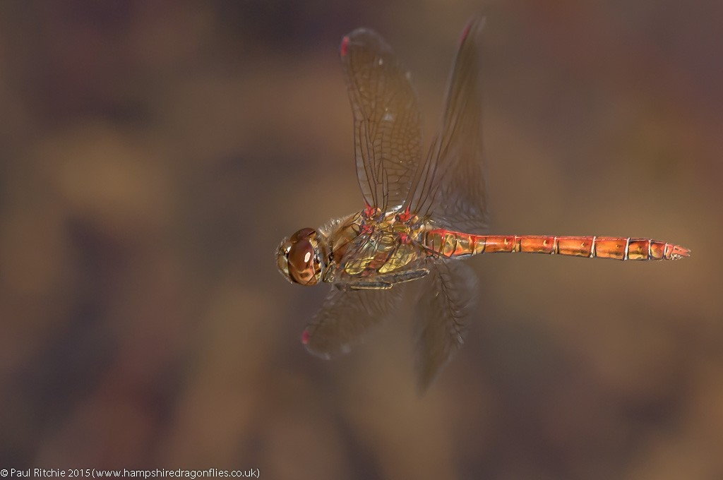Common Darter - male in-flight