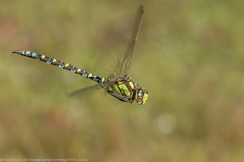 Southern Hawker - male in-flight