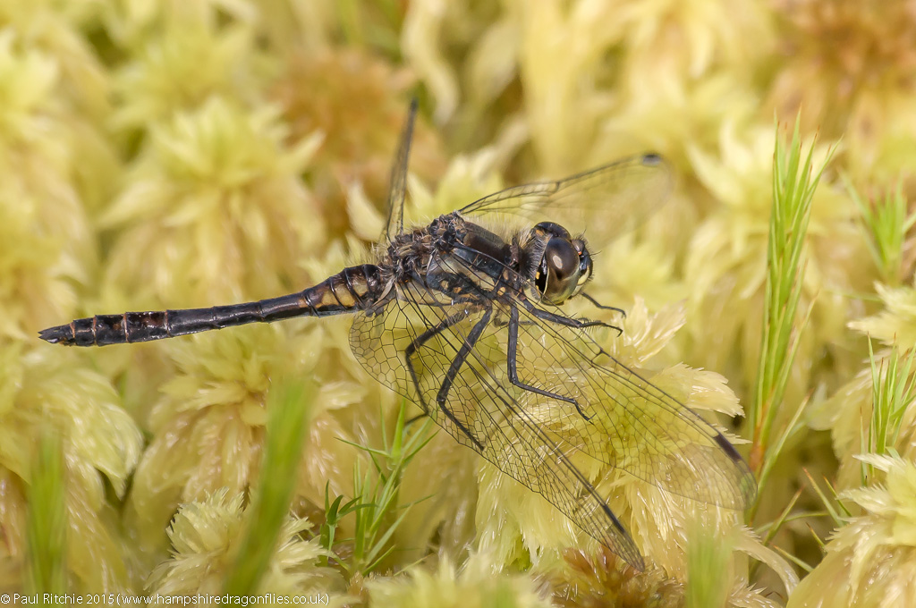 Black Darter (Sympetrum danae)- male