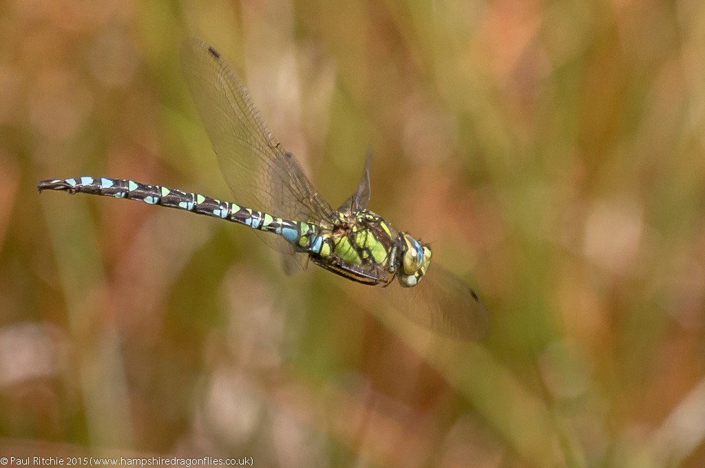 Southern Hawker - male in flight