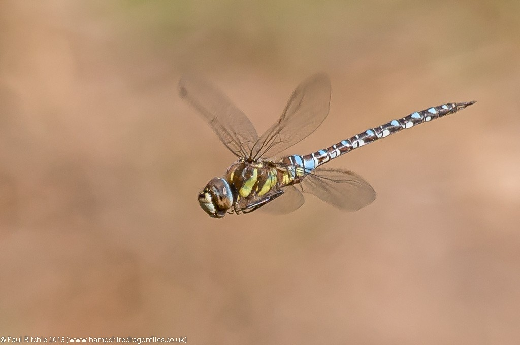 Migrant Hawker - male in-flight