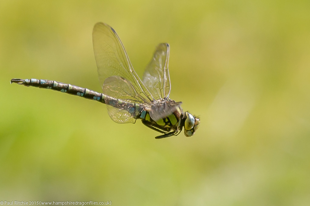 Southern Hawker (Aeshna cyanea) - male in flight
